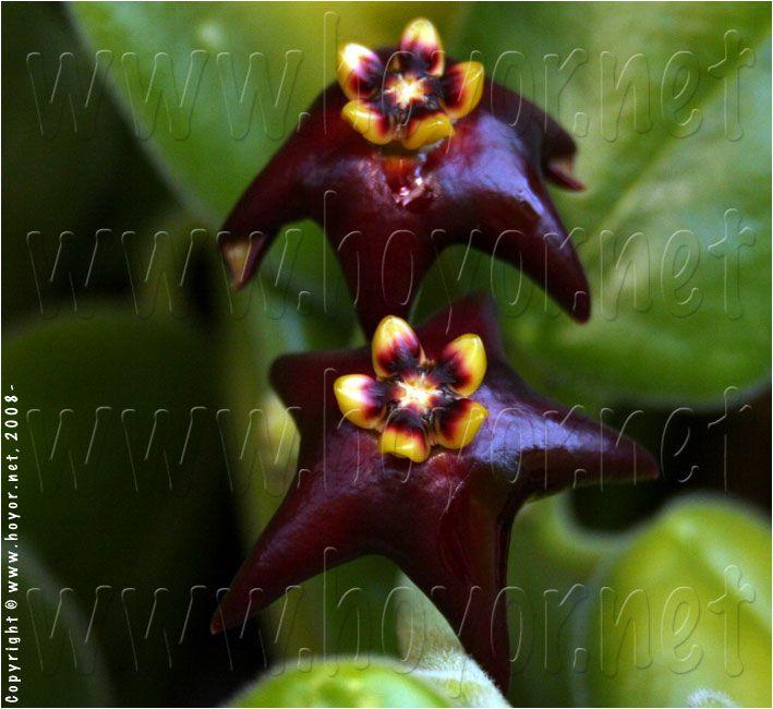 Hoya ciliata - flor de cera - cuia 21
