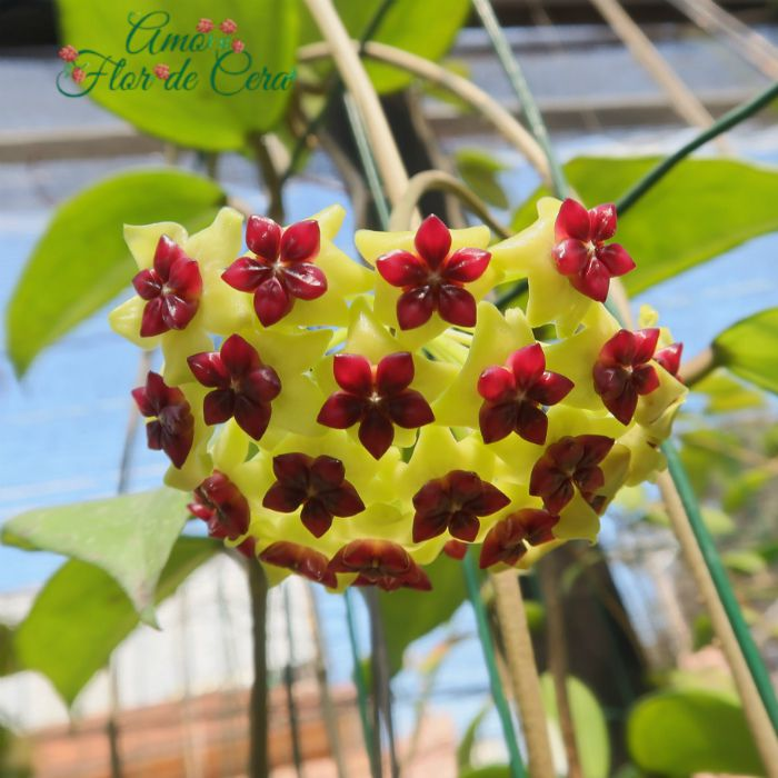 Hoya cinammomifolia - flor de cera