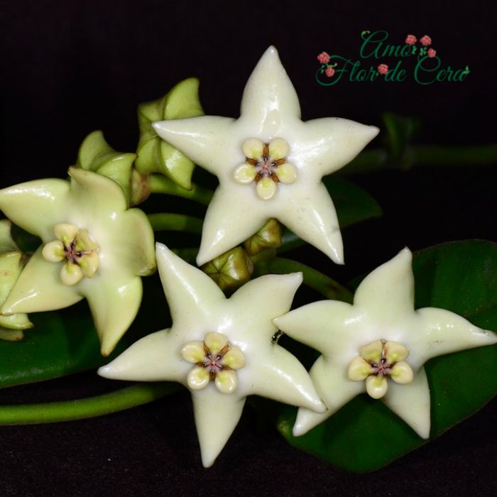 Hoya coronária branca - flor de cera