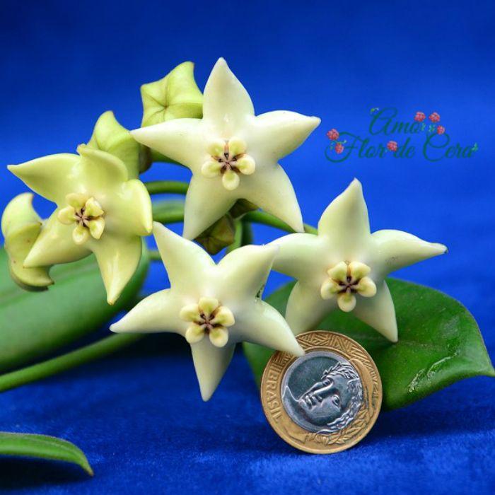 Hoya coronária branca - muda flor de cera
