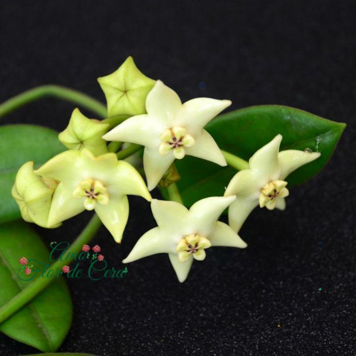 Hoya coronária branca - muda grande