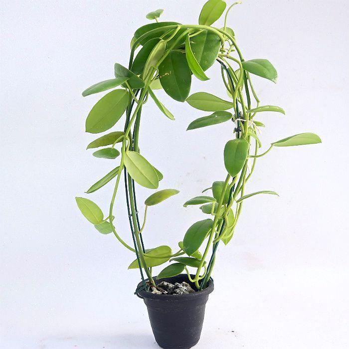 Hoya coronária branca - muda grande - flor de cera