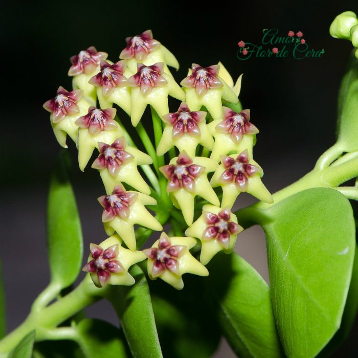 Hoya cumingiana - flor de cera