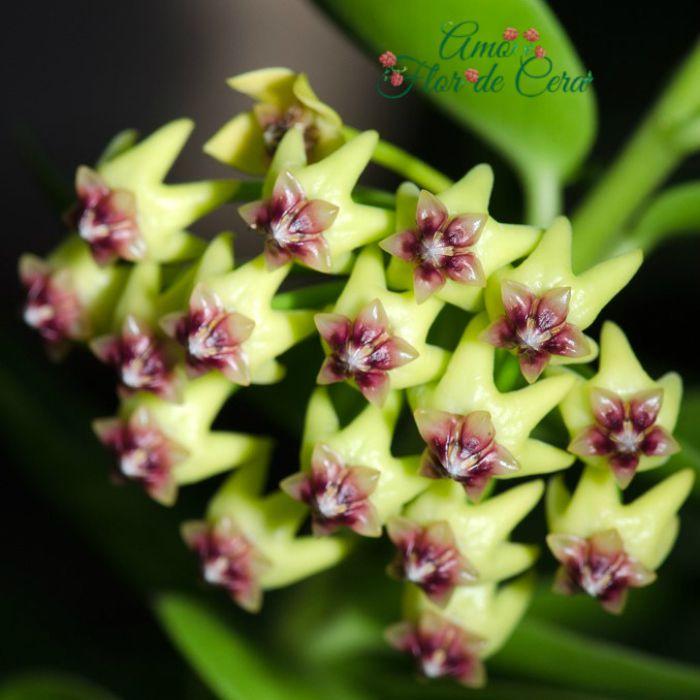 Hoya cumingiana - flor de cera - cuia 21