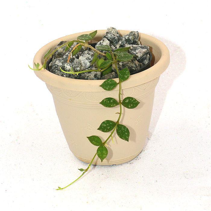 Hoya curtisii - muda flor de cera