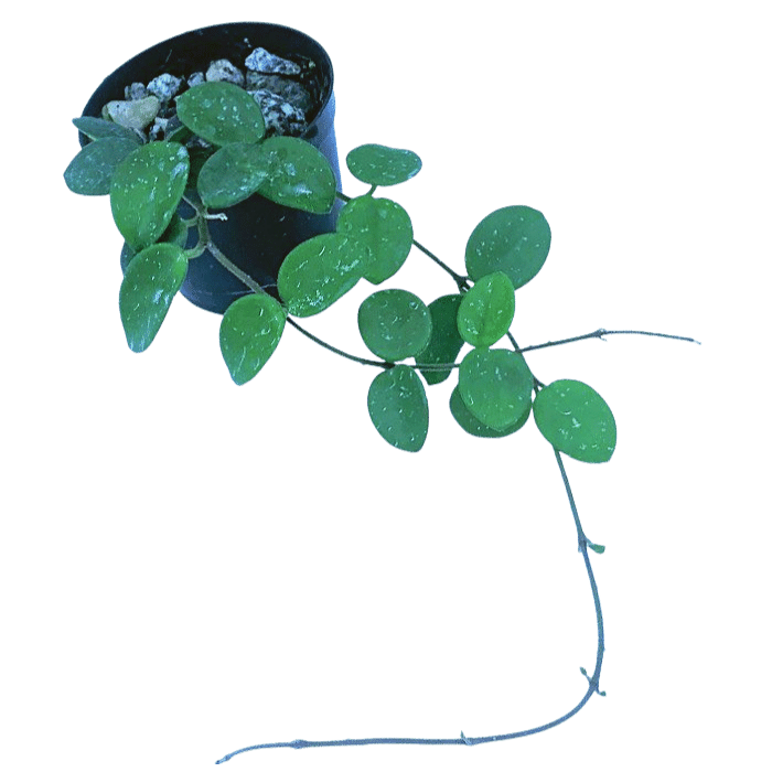 Hoya cv mathilde - muda flor de cera