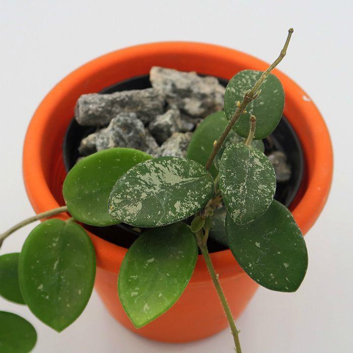 Hoya cv mathilde splash - muda flor de cera