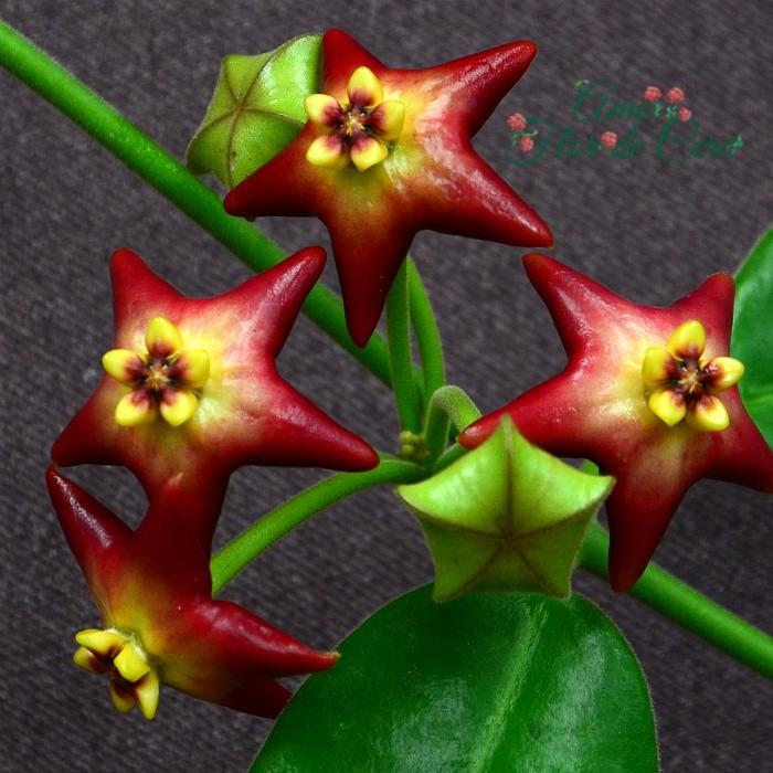 Hoya cv optimistic - flor de cera - muda pequena