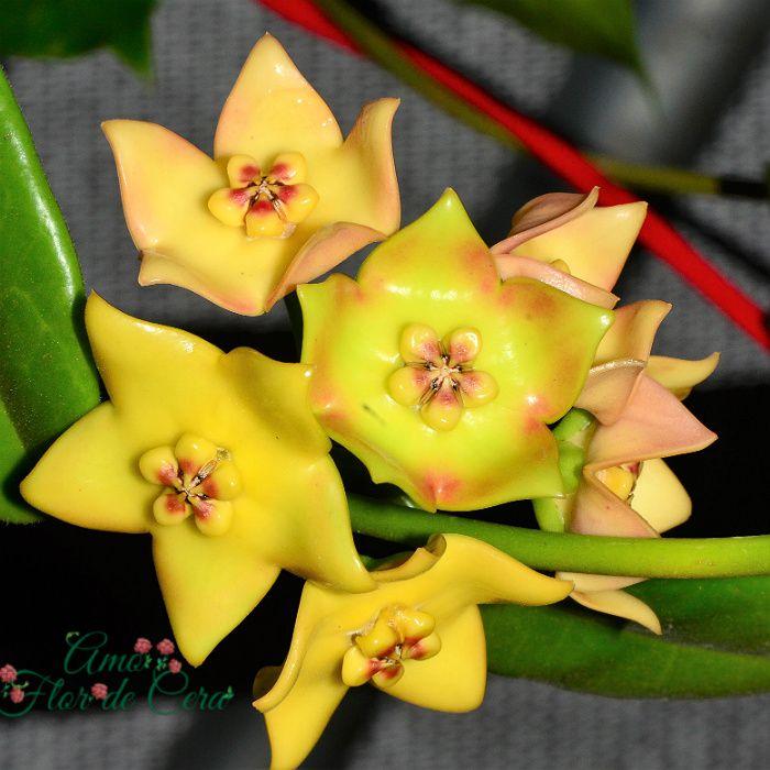 Hoya cv ruthie - flor de cera - cuia 21