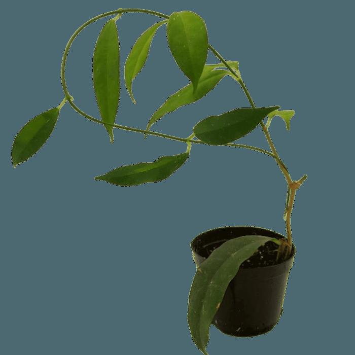 Hoya cysiantha ( danumensis ) muda flor de cera