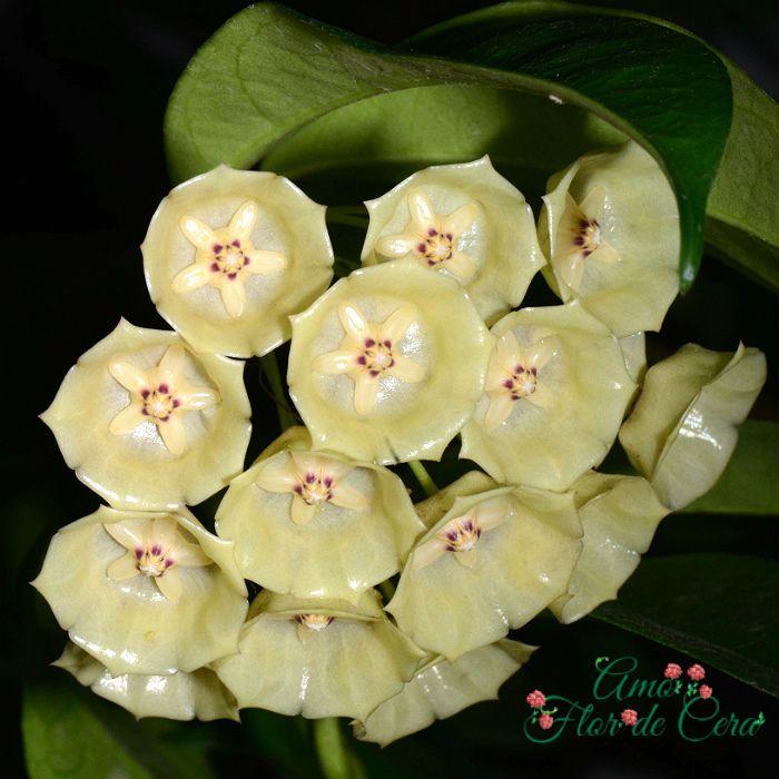 Hoya cysiantha ( danumensis ) flor de cera
