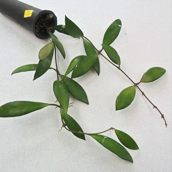 Hoya davidcumingii - flor de cera