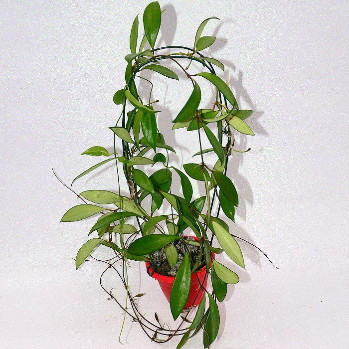 Hoya davidcumingii - flor de cera - muda grande