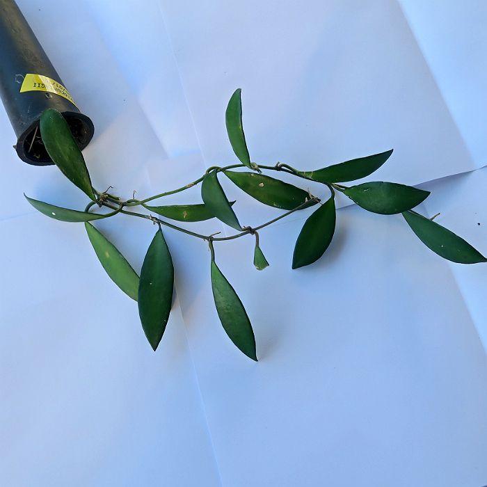Hoya davidcumingii - muda flor de cera