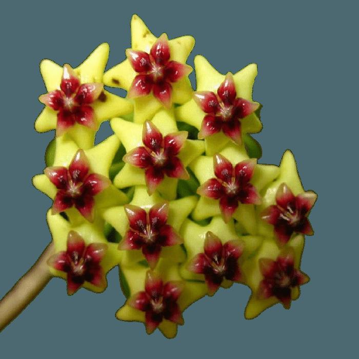 Hoya densifolia - muda flor de cera