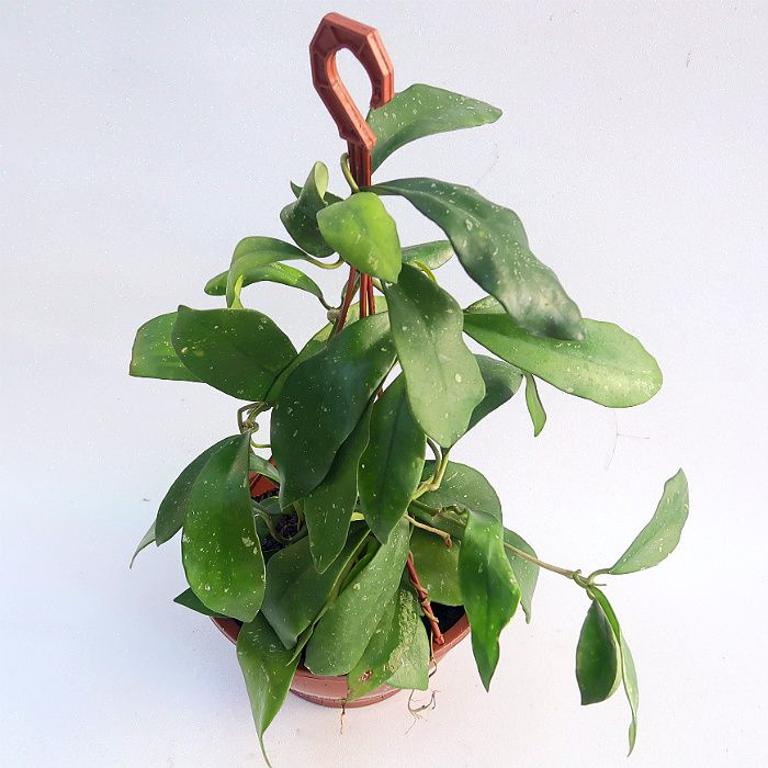 Hoya diversifolia - cuia 21