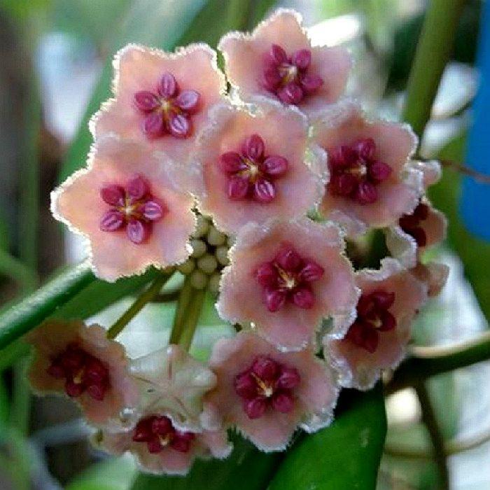 Hoya diversifolia - flor de cera