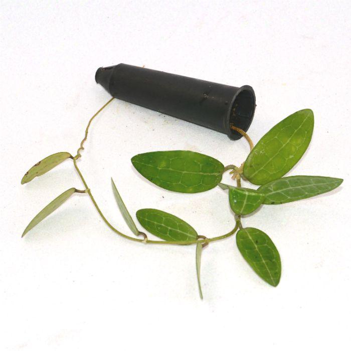 Hoya elliptica  - muda flor de cera