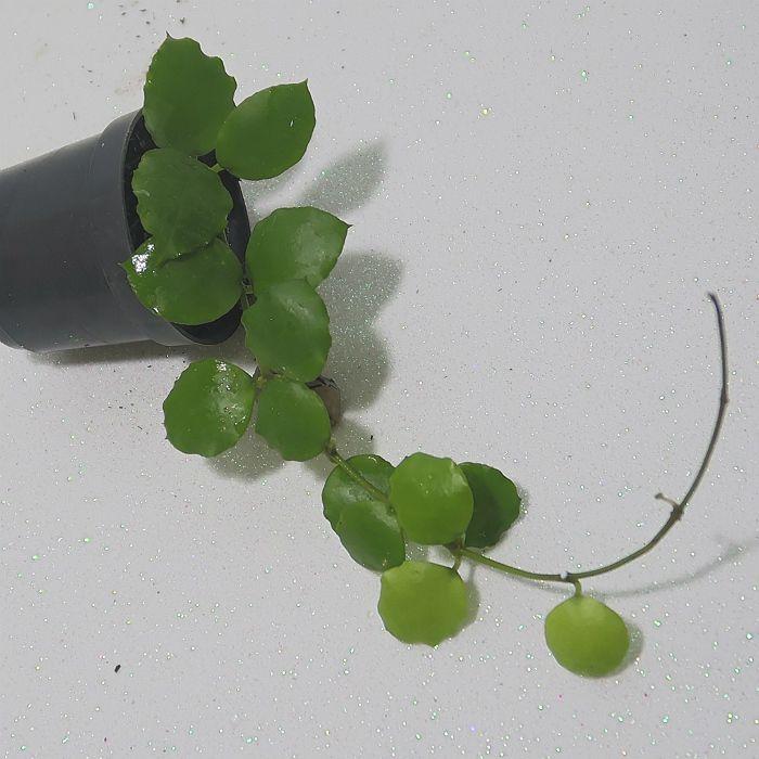 Hoya endauensis - flor de cera