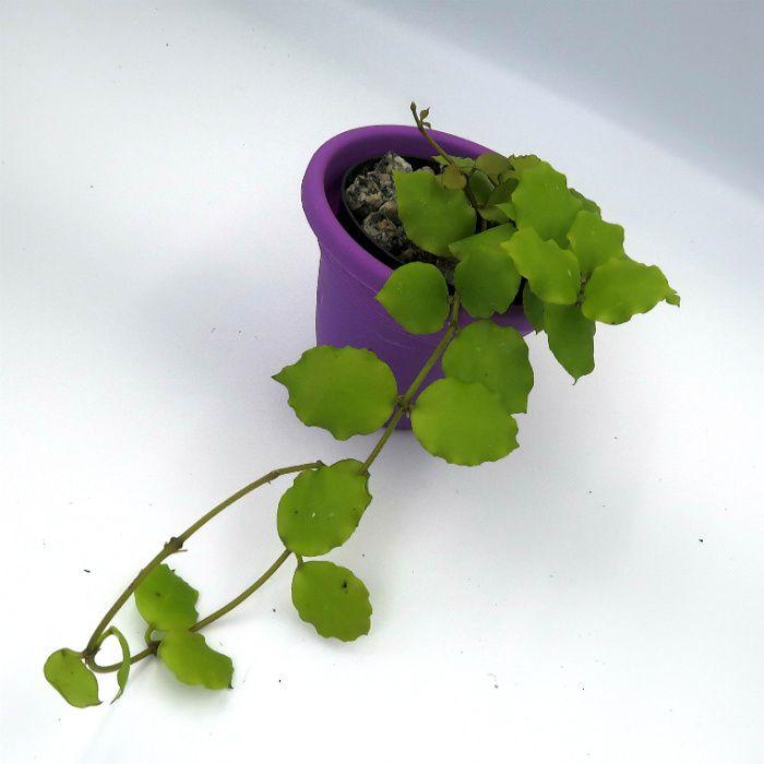Hoya endauensis - muda flor de cera