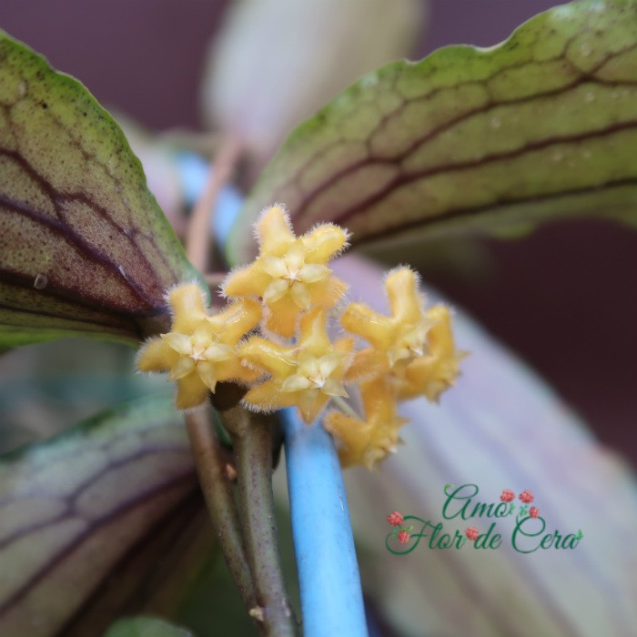 Hoya  erythrina - flor de cera