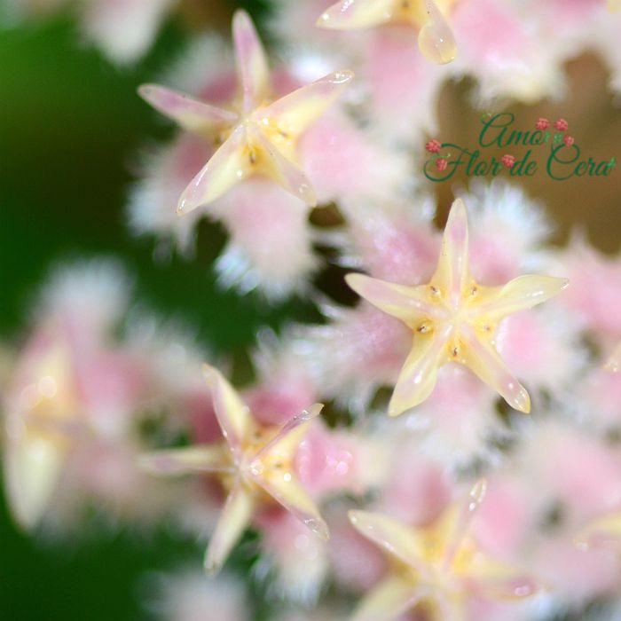 Hoya erythrostemma pink - flor de cera