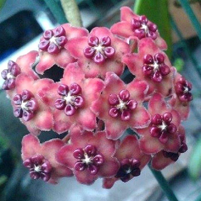 Hoya excavata - flor de cera