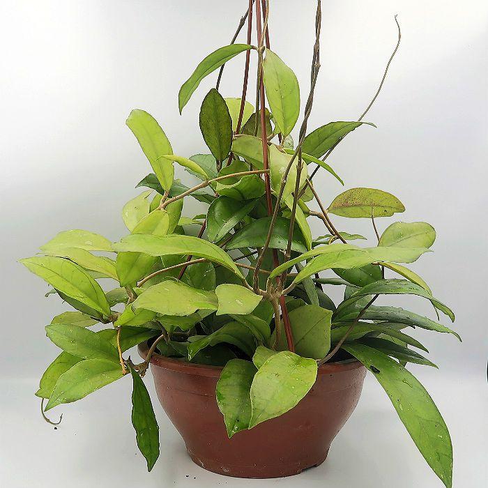 Hoya finlaysonii - muda EXTRA grande - flor de cera