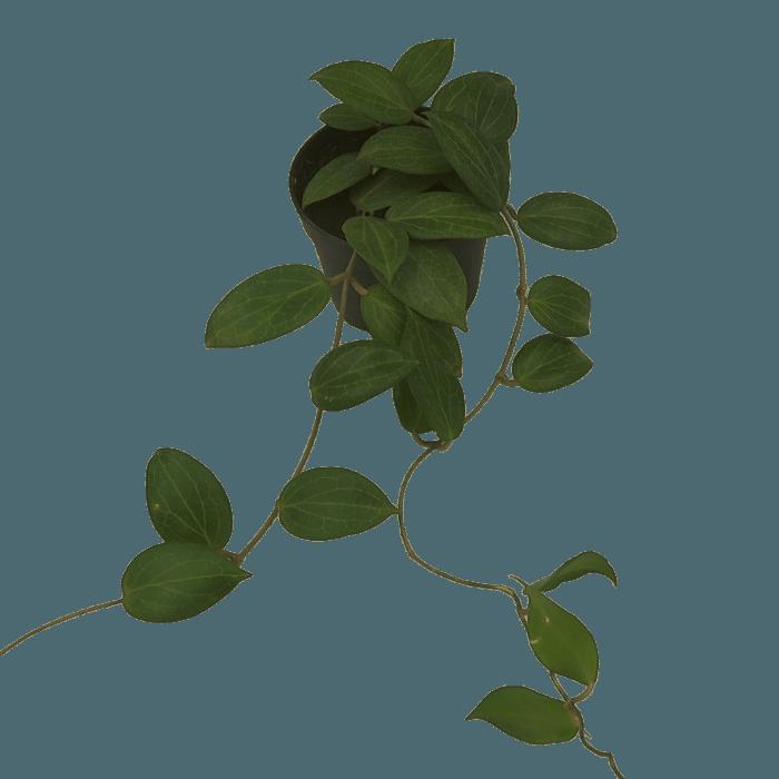 Hoya fitchii - flor de cera