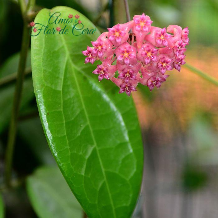 Hoya sp flowers island - flor de cera