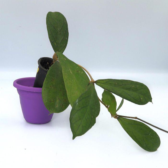 Hoya forbesii - muda flor de cera