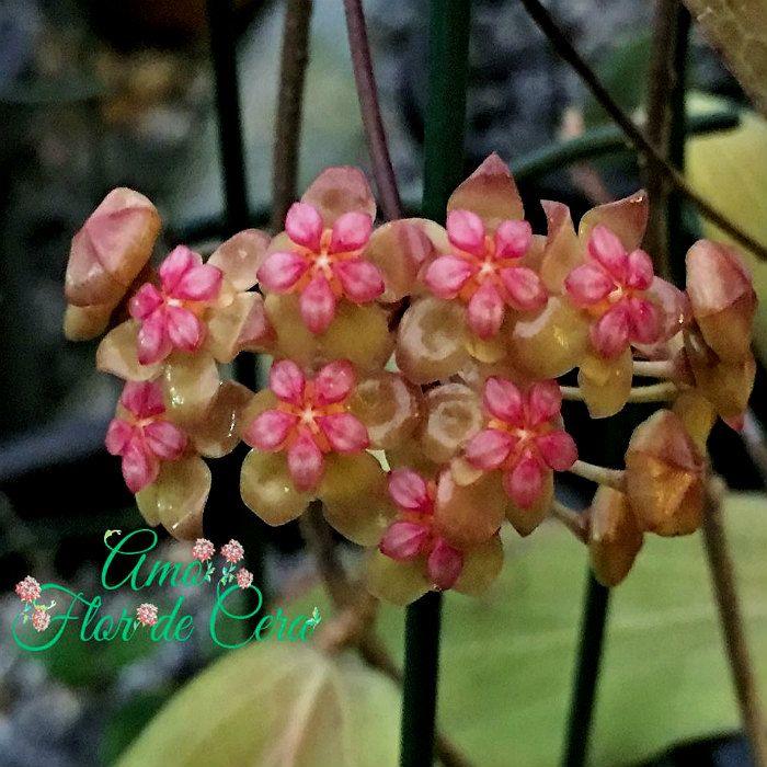 Hoya gelba  - flor de cera