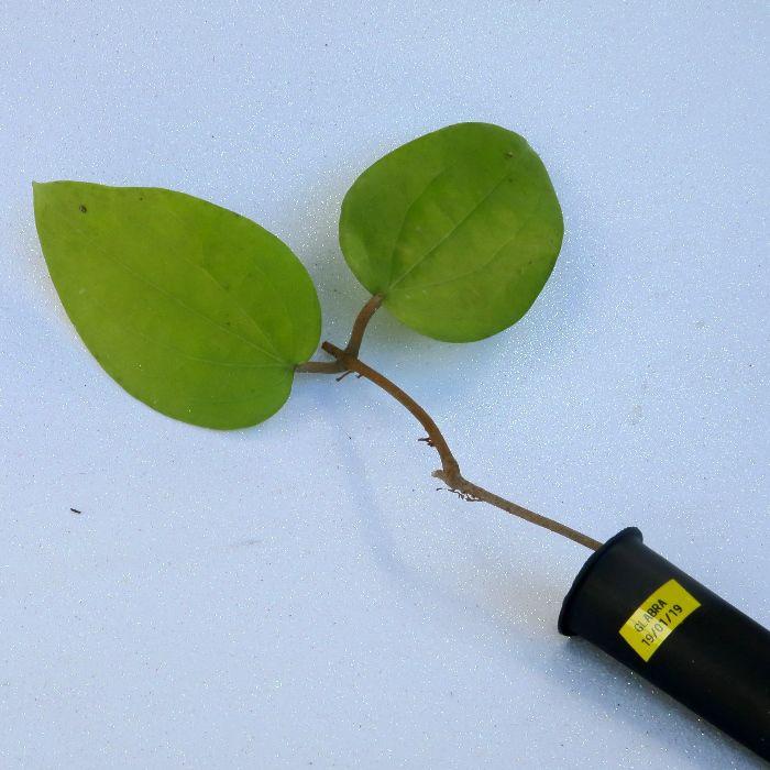 Hoya glabra - flor de cera