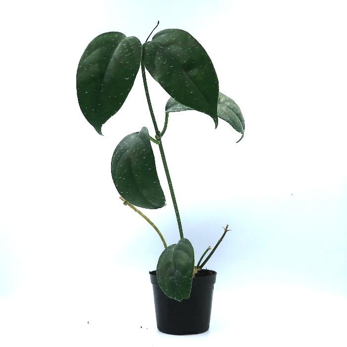 hoya halconensis - flor de cera