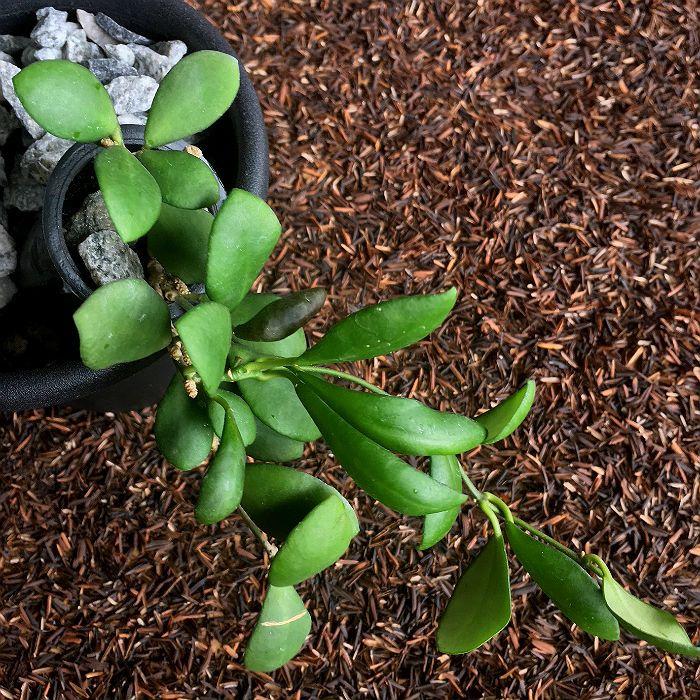 Hoya heuschkeliana red - flor de cera