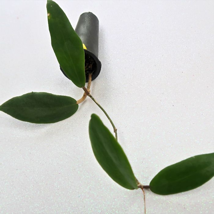 Hoya ilagiorum - flor de cera