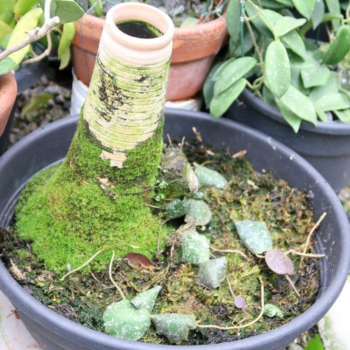 Hoya imbricata - muda flor de cera
