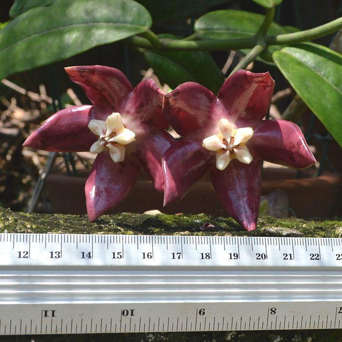 Hoya imperialis red - muda flor de cera