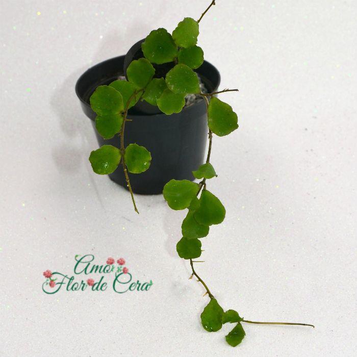 Hoya kanyakumariana - muda flor de cera
