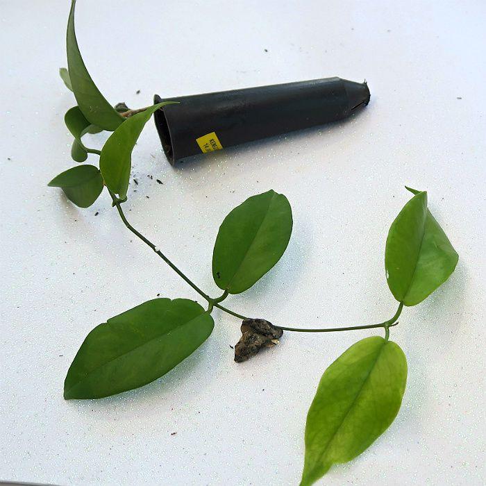 Hoya kenejiana - flor de cera