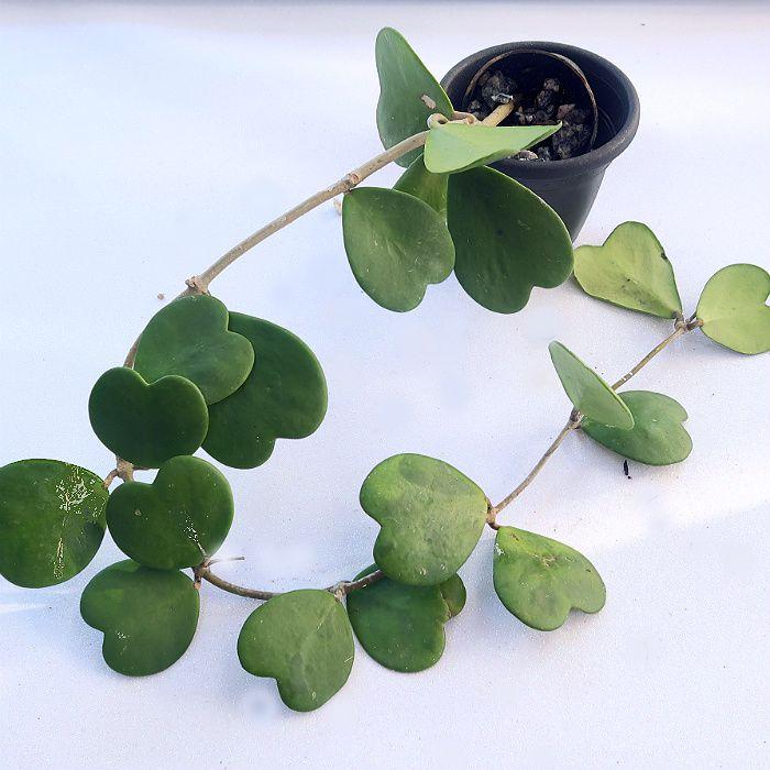 Hoya kerrii - flor de cera coração - muda grande