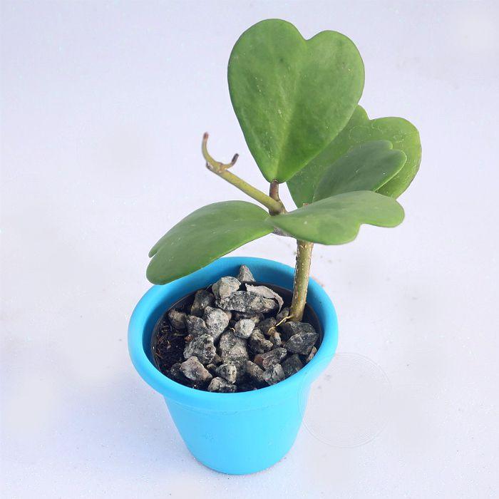 Hoya kerrii - flor de cera coração - muda pequena