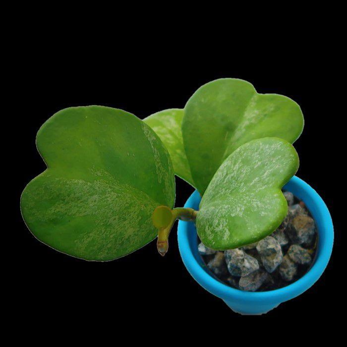 Hoya kerrii splash - flor de cera coração