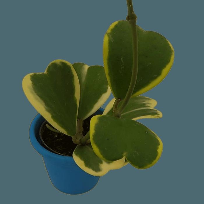 Hoya kerrii variegata - muda flor de cera coração variegata