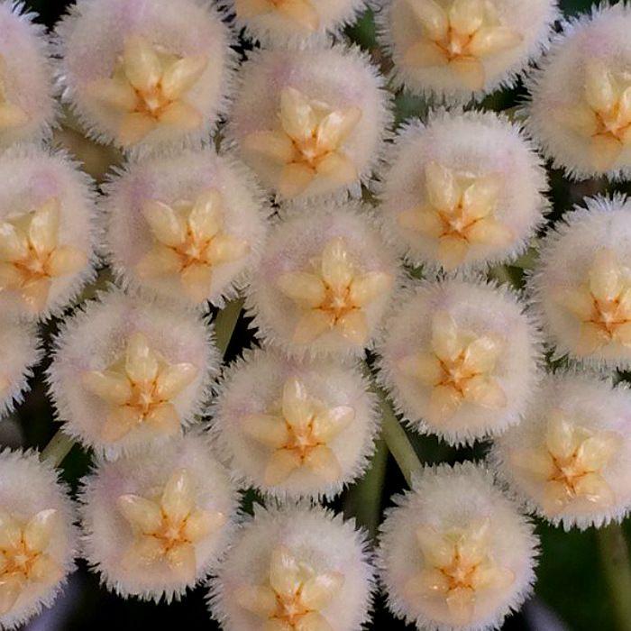Hoya krohniana - corte nao enraizado