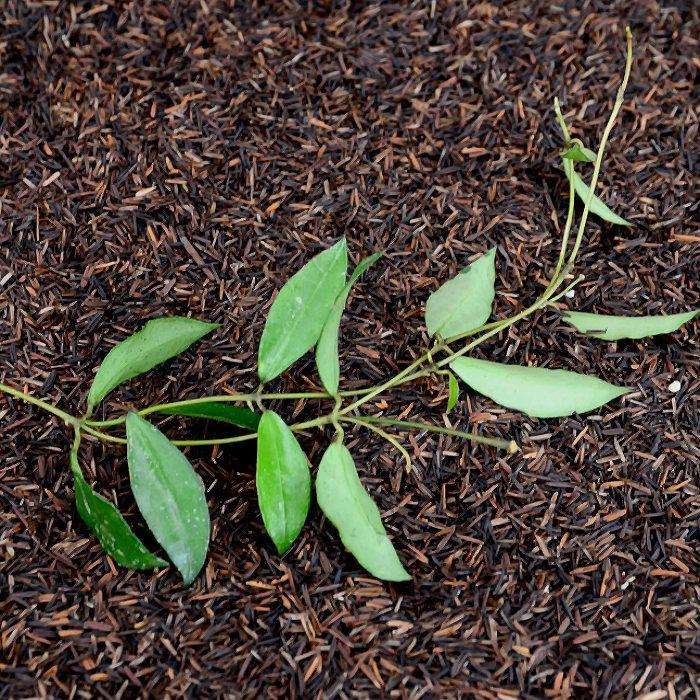 Hoya lacunosa - corte nao enraizado