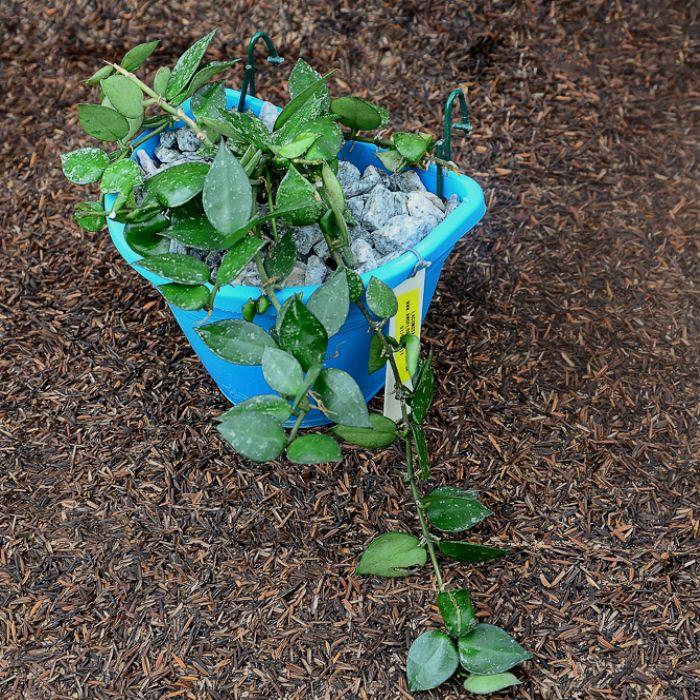 Hoya krohniana eskimo  - muda no vaso de parede