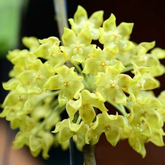 Hoya lambii - flor de cera