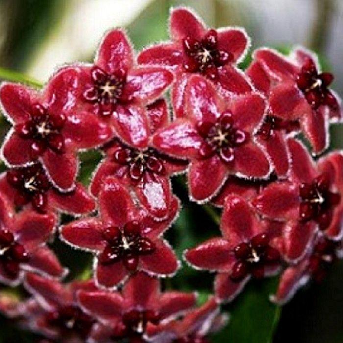 Hoya lamingtoniae - flor de cera
