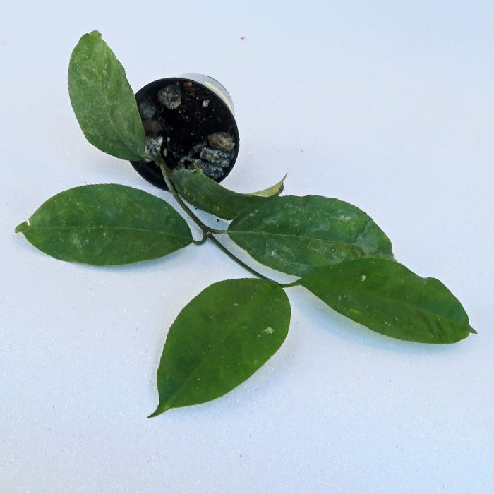 Hoya lasiantha - flor de cera